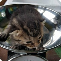 Domestic Shorthair Kitten for adoption in Woodbury, New Jersey - Caper