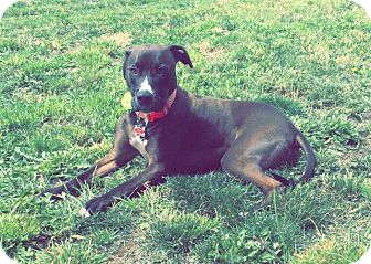 Boxer Mix Dog for adoption in Bremerton, Washington - Mia