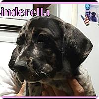 Catahoula Leopard Dog/Labrador Retriever Mix Puppy for adoption in Ringwood, New Jersey - Cinderella