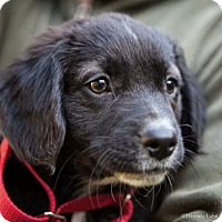 Adopt A Pet :: 'Designer' Puppy: Jimmy Chew (Has application) - Washington, DC