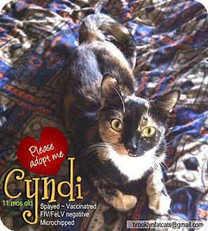 Domestic Shorthair Cat for adoption in Brooklyn, New York - Cyndi