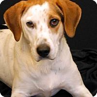 Labrador Retriever/Hound (Unknown Type) Mix Dog for adoption in Newland, North Carolina - Silas