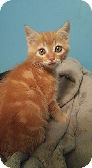 Domestic Mediumhair Kitten for adoption in Bryson City, North Carolina - Pumpkin