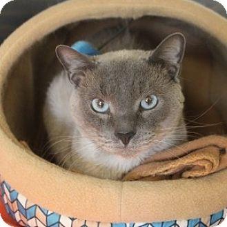 Siamese Cat for adoption in Naperville, Illinois - Skippy
