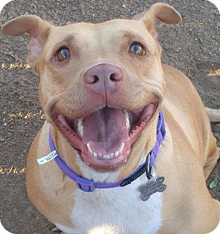Pit Bull Terrier/Australian Cattle Dog Mix Dog for adoption in Valley Village, California - SUGAR