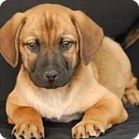 German Shepherd Dog Mix Puppy for adoption in Newland, North Carolina - Marvel