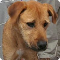 Airedale Terrier Mix Dog for adoption in Silver City, New Mexico - Lena