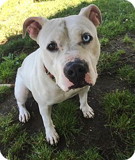 Pit Bull Terrier Mix Dog for adoption in Bay Shore, New York - Barbara