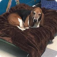 Adopt A Pet :: Flash - York, SC