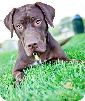 Hansi | Adopted Dog | Seattle, WA | German Shorthaired ...