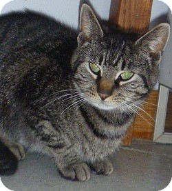 Domestic Shorthair Cat for adoption in Hamburg, New York - Paisley