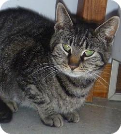 Domestic Shorthair Cat for adoption in Hamburg, New York - Paisley