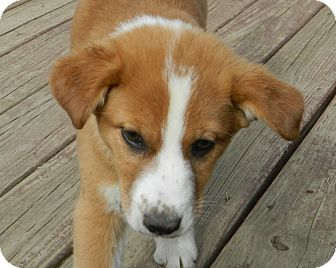 Collie/Sheltie, Shetland Sheepdog Mix Puppy for adoption in Conesus ...