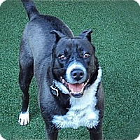 Border Collie/Akita Mix Dog for adoption in Los Angeles, California - Cute Nicki-VIDEO