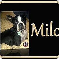 Adopt A Pet :: Milo - Berthierville / Sorel, QC