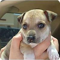 Adopt A Pet :: Ruby - Arlington, TX