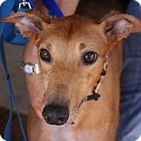 Adopt A Pet :: Scout - Tucson, AZ