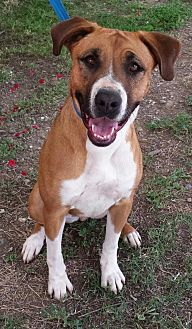 Boxer Mix Dog for adoption in Orland, California - Lola