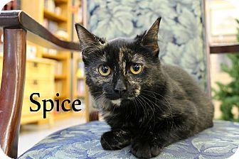 Domestic Shorthair Kitten for adoption in Wichita Falls, Texas - Spice