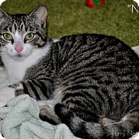 Adopt A Pet :: NIBBLES (Purr-machine!) - New Smyrna Beach, FL