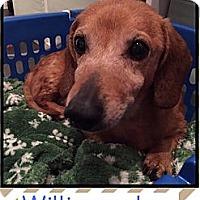 Adopt A Pet :: Mr. Willis (Senior Discount) - Windham, NH