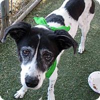 Adopt A Pet :: MOLLY the Love - Chandler, AZ