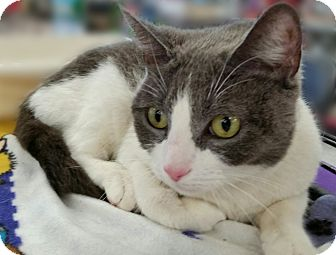 Domestic Shorthair Cat for adoption in Staten Island, New York - Maxine