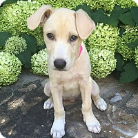Adopt A Pet :: COME MEET Pearl - Westport, CT