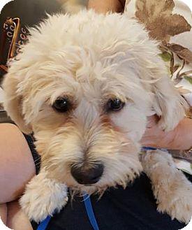 Maltese/Miniature Poodle Mix Puppy for adoption in Scottsdale, Arizona - Mickey