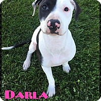 American Pit Bull Terrier/Labrador Retriever Mix Dog for adoption in Toledo, Ohio - Darla