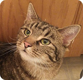 Domestic Shorthair Cat for adoption in Midvale, Utah - Emmie