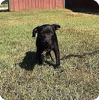Labrador Retriever/Border Collie Mix Puppy for adoption in Allentown, Pennsylvania - Bitsey