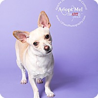 Chihuahua Mix Dog for adoption in Apache Junction, Arizona - Destiny