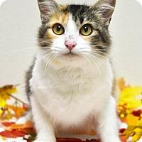 Domestic Mediumhair Cat for adoption in Dublin, California - Louise
