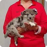 Adopt A Pet :: Boomer - South Euclid, OH