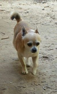 Chihuahua Dog for adoption in Willingboro, New Jersey - Riley