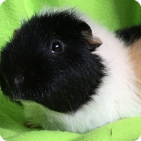 Adopt A Pet :: Buddy - Steger, IL