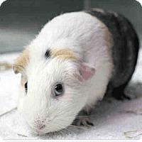 Adopt A Pet :: *Urgent* Vanilla - Fullerton, CA