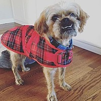 Brussels Griffon/Affenpinscher Mix Dog for adoption in Rockville, Maryland - Skeets