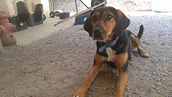Black and Tan Coonhound/Doberman Pinscher Mix Dog for adoption in Bryson City, North Carolina - Darbie