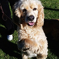 Cocker Spaniel Dog for adoption in Santa Barbara, California - Scooter