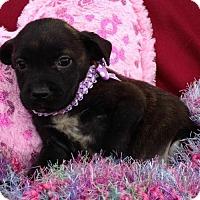 Adopt A Pet :: Ivy - Trenton, NJ