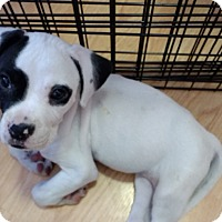 Adopt A Pet :: Zee - Hainesville, IL