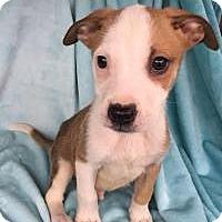 Adopt A Pet :: Pinto in Texarkana, TX - Texarkana, TX