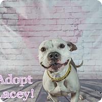 Adopt A Pet :: Lacey - Las Vegas, NV