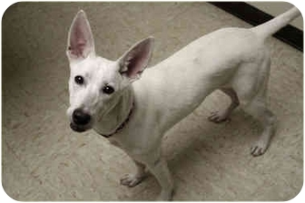 Pharaoh Hound/Terrier (Unknown Type, Medium) Mix Dog for adoption in Racine, Wisconsin - Stella