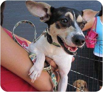 Rat Terrier Mix Dog for adoption in Alexandria, Virginia - Colin