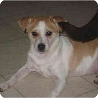 Terrier (Unknown Type, Small)/Jack Russell Terrier Mix Dog for adoption in Columbus, Nebraska - Tuff