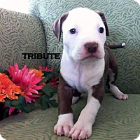 Adopt A Pet :: TRIBUTE - Higley, AZ