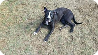 Boxer Mix Dog for adoption in Maricopa, Arizona - Leo